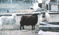 Sheep_and_goat